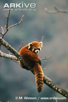 Red panda in tree - View amazing Red panda photos - Ailurus fulgens - on Arkive Super Cute Animals, Cute Baby Animals, Animals And Pets, Cutest Animals On Earth, Animals Of The World, Mammals, Reptiles, Small Dogs, Animals Beautiful