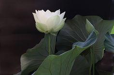 White Lotus Flower IMG_0122