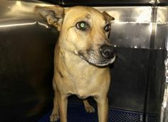 TO BE DESTROYED 04/30/17 ***REASON: SPACE*** 34817837 - Shepherd - 3 years old - #34817837 - FOR MORE PICS, VIDEOS & INFO: http://www.dogsindanger.com/dog/1490310344342