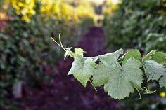 Наш виноградник