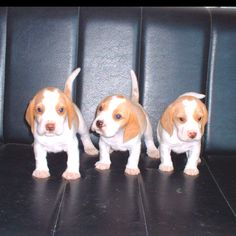 I am so in love with these beagles
