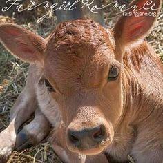 Miniature Cow Breeds, Miniature Cattle, Farm Animals, Animals And Pets, Cute Animals, Wild Animals, Animals Beautiful, Minature Cows, Jersey Cattle