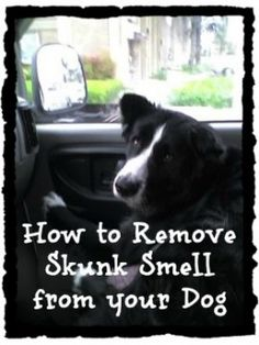 A tried and true #recipe to remove the #skunk #smell off your dog. Works great and very inexpensive. This is Simon our Border Collie. He likes to chase skunks.