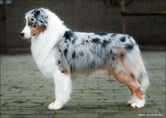 The Australian Shepherd, Aussie, is a breed developed on ranches in the United States; as early as the 1800s.  Aussies have been valued for their versatility and trainability.  As stock-dogs, herding trials.  and eagerness to please; are highly regarded for their skills in obedience.  It excels at dog sports such as dog agility, fly-ball, and frisbee. They are also highly successful search and rescue dogs, disaster dogs, detection dogs, guide, service, and therapy dogs.