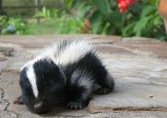 I want a pet skunk! They are like cats, minus my allergic reactions.