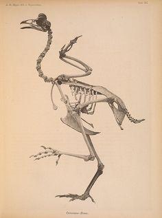Bird skeleton (for a Halloween Printable!)