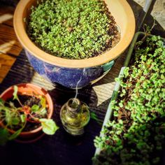 #microgreens are great on sandwiches - less than two weeks to sprout  #smudge to keep the pests away by noisivelvet