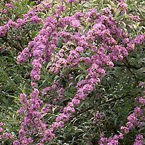 Weeping butterfly bush