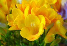 fresias amarillas <3