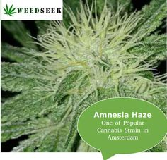 Amnesia Haze name comes in most popular cannabis strains. This energetic high will leave you with the mental focus necessary to stick it out through long creative endeavours.