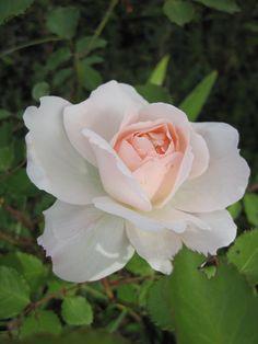 ~rose ' Plume d' ange ' de Meilland http://sable-emouvant.eklablog.com/les-roses-de-mai-au-jardin-a91216343