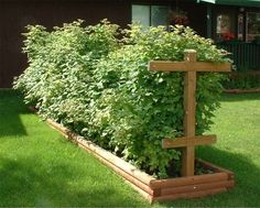 Raspberry bushes in a raised bed.