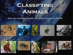 Classifying Animals: Invertebrates and Vertebrates (Animal Classification) from Bodoque on TeachersNotebook.com (46 pages)  - Classification of Animals: Invertebrates and Vertebrates (mammals, fish, birds, reptiles, and amphibians). This comes with a 36 page PowerPoint presentation, a few writing activities, riddles, and more.