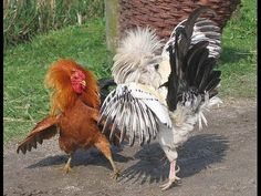Two hen Fighting in The Court | Rooster Fight Video 01