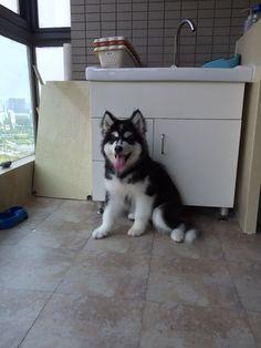 Move to new apartment yay yay #taro #alaskan #malamute