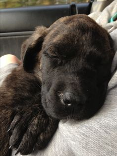 English mastiff puppy 8 weeks old. Brindle coloured Awe