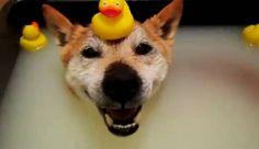 Este viejo perro shiba inu japonés recibe un súper baño para aliviar su cuerpo. Lo más divertido del video es el perro con un pato de goma en su cabeza! :D