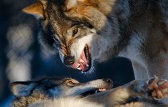 Wolves talking | Flickr - Photo Sharing!