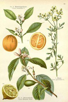 Citrus limon (L.) Osbeck, Citrus aurantium L., Ruta graveolens L. | Losch, F., Kräuterbuch, unsere Heilpflanzen in Wort und Bild, Zweite Auflage (1905)
