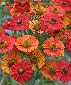 2011 garden addition, Helenium autumnale 'Red Shades' ::: This is lovely red tonal colors. Beautiful Flowers, Plants, Planting Flowers, Garden Plants, Flowers, Autumn Garden, Flowers Perennials, Flower Garden, Shade Plants
