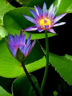 Water Lilies - Kingstown, Saint George