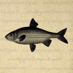 Digital Antique Fish Image Graphic Download Printable Illustration Vintage Clip Art Jpg Png Eps 18x18 HQ 300dpi No.4047 by VintageRetroAntique on Etsy https://www.etsy.com/listing/158520963/digital-antique-fish-image-graphic