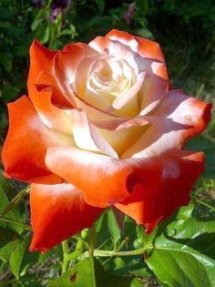 Tea hybrid rose ✿⊱╮