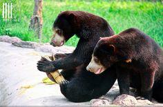 Malayan Sun Bears