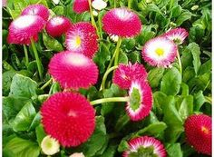 Rostlina | Sedmikráska zahradní, Chudobka, Bellis perennis