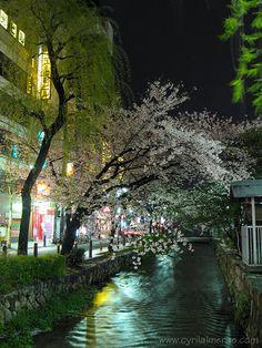 Kyoto (京都)  Cherry Blossoms (桜)