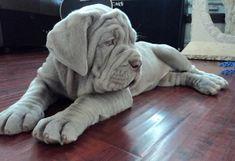 Perros de raza | Mastín napolitano