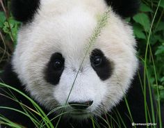 Beyond cute panda baby!