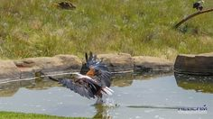 Gorgeous Fish Eagle at Falcon Ridge in Champayne Valley, Drakensberg, South Africa South Africa, Eagle, Fish, Animals, Animales, Animaux, Eagles, Animais, Animal