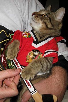 cat in a Chicago Blackhawks hockey jersey