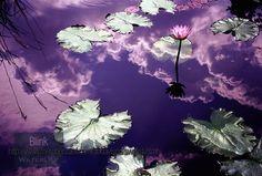 Blink, tropical waterlily