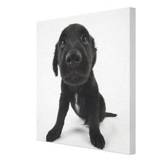 >>>Are you looking for          Puppy Looking at Camera Gallery Wrapped Canvas           Puppy Looking at Camera Gallery Wrapped Canvas in each seller & make purchase online for cheap. Choose the best price and best promotion as you thing Secure Checkout you can trust Buy bestHow to          ...Cleck Hot Deals >>> http://www.zazzle.com/puppy_looking_at_camera_gallery_wrapped_canvas-192281914768219652?rf=238627982471231924&zbar=1&tc=terrest
