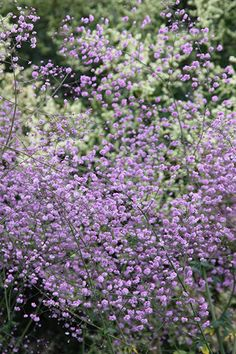 Buy meadow rue Thalictrum delavayi: Delivery by Crocus