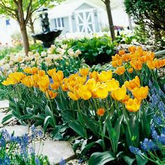 33 Tulips that Come Back Reliably, Year After Year:  Some tulip varieties come back better than others. To help your bulbs be longer-lived perennials, grow them in well-drained soil. It also helps to plant them 8-10 inches below the soil surface -- deeper than usual. To discover which tulips are good bets for long life, check out this BHG slide show.