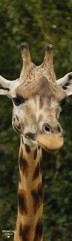 Giraffe on Safari by David Salter via Flickr | LOLO❤︎