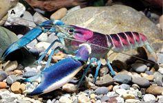 http://distractify.com/pinar/cray-crayfish/