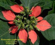 Poinsettia cyathophora - PAINTEDLEAF; FIRE-ON-THE-MOUNTAIN - EUPHORBIACEAE