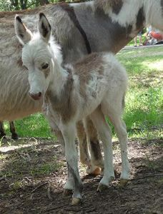 Chapel Hill Farm Mini Donkeys - Miniature Donkeys Texas