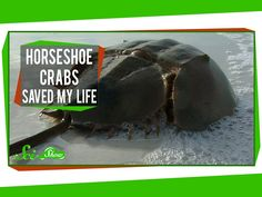 Horseshoe Crabs Saved My Life  Published on May 19, 2014 Horseshoe crabs aren't really crabs, but they are super old, super cool, and they deserve your respect. Because they may have already saved your life. SciShow explains!
