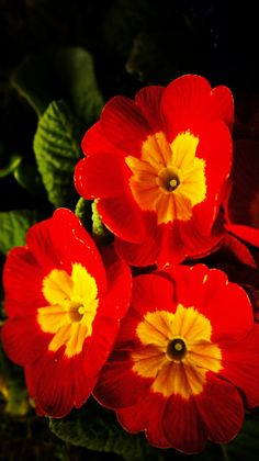 Red Primula flowers