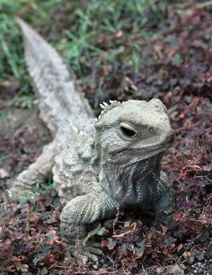 Tuatara-The tuatara is unusual for lots of reasons; it has a single-chambered lung, the most primitive heart of any reptile, its teeth are not teeth but rather jagged outcroppings of its jawbone, its spine resembles that of a fish more than any other reptile, and, oh, wait, it has three eyes. Yes. Three eyes. And its lifespan is just as weird; it reaches sexual maturity extremely late, at between 20 and 30 years, and doesn't even stop growing until its 35th year.