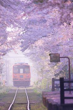 Tsugaru Line running through cherry trees / Aomori, Japan Aomori, Japan Kawaii, Beautiful World, Beautiful Places, Monte Fuji, Sakura Cherry Blossom, Cherry Blossoms, Blossom Trees, Go To Japan