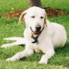 @ Delsa--Labrador Retriever Information, Pictures of Labrador Retrievers | Dogster