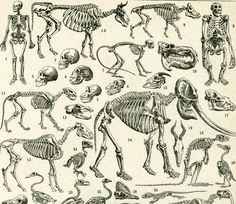 1948 Anatomie Squelette Animaux Dinosaure Elephant Poisson Reptiles Larousse…