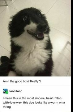 Am I the good boy? Really?? I mean this in the most sincere, heart-filled- with-love way, this dog looks like a worm ona string – popular memes on the site ifunny.co Cute Little Animals, Cute Funny Animals, Funny Cute, Cute Dogs, Cute Babies, Animal Jokes, Funny Animal Memes, Stupid Funny Memes, Funny Stuff