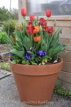 Buy bulbs now before it's too late. - Red Dirt Ramblings® 'Temple's Favourite', 'Rococo' and 'Orange Princess' tulips.